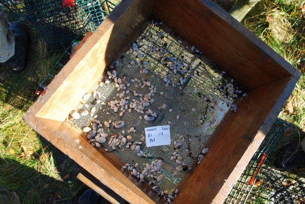 ost of the wild clam recruits were associated with experimental units that were protected with Pet screen. In this sample, 7 live hatchery-reared clams (out of 12) survived; however, there were 467 wild clam recruits as well!