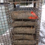Bags of clams protected by a heavy mesh container were placed into overwintering cages(modified lobster traps with shelving) and suspended from the dock 2-3 feet below the surface of the water and several feet off the bottom.