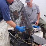 Chad Coffin (left) and Clint Goodenow (right) removing green crabs from an Acer green crab trap in the Harraseeket River.