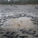 A 10 x 10 m plot with 13 lbs crushed clam shell and no predator protection.