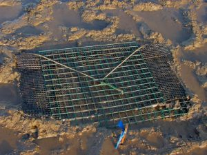 "A ""clam pound."" Constructed of vinyl-coated lobster trap wire, this pound contains one-bushel of commercial size soft-shell clams (> 50 mm SL). Survival from April to August 1996 was ca. 95%."
