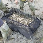 A 2016 clam impoundment, covered in netting designed to protect the clams from predators, before being dug into the mud.