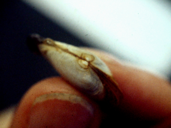"Another example of the ""hatchery mark."" Most individuals were 12-15 mm when planted on 1 November 1988."