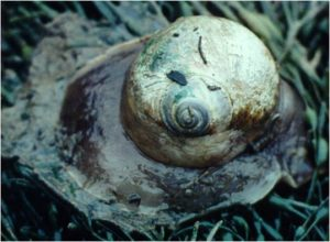 The northern moonsnail, Euspira heros, from an intertidal flat in Edmunds, Maine (1998)