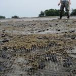 Mud snail eggs covering a predator deterrent net in 2014.