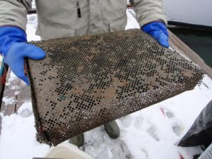Cultured soft-shell clams being added to an 18-inch x 18-inch bag constructed of window screening