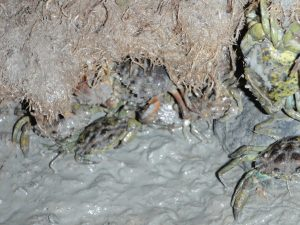 ualitative sampling from several shorelines along the Harraseeket, lower Maquoit Bay, Harpswell Cove, and Johnson Cove on Chebeague Island have shown that the burrows are colonized mostly by female green crabs along with a few large males (sex ratios typically are 8:1 female:male).