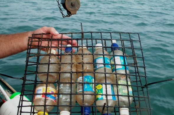 Plastic soda bottles with holes punched in them contain one lobster each. Groups of ten bottles were sandwiched between two pieces of vinyl-coated lobster trap wire, and then the group of bottles placed onto a shelf in the nursery cage.