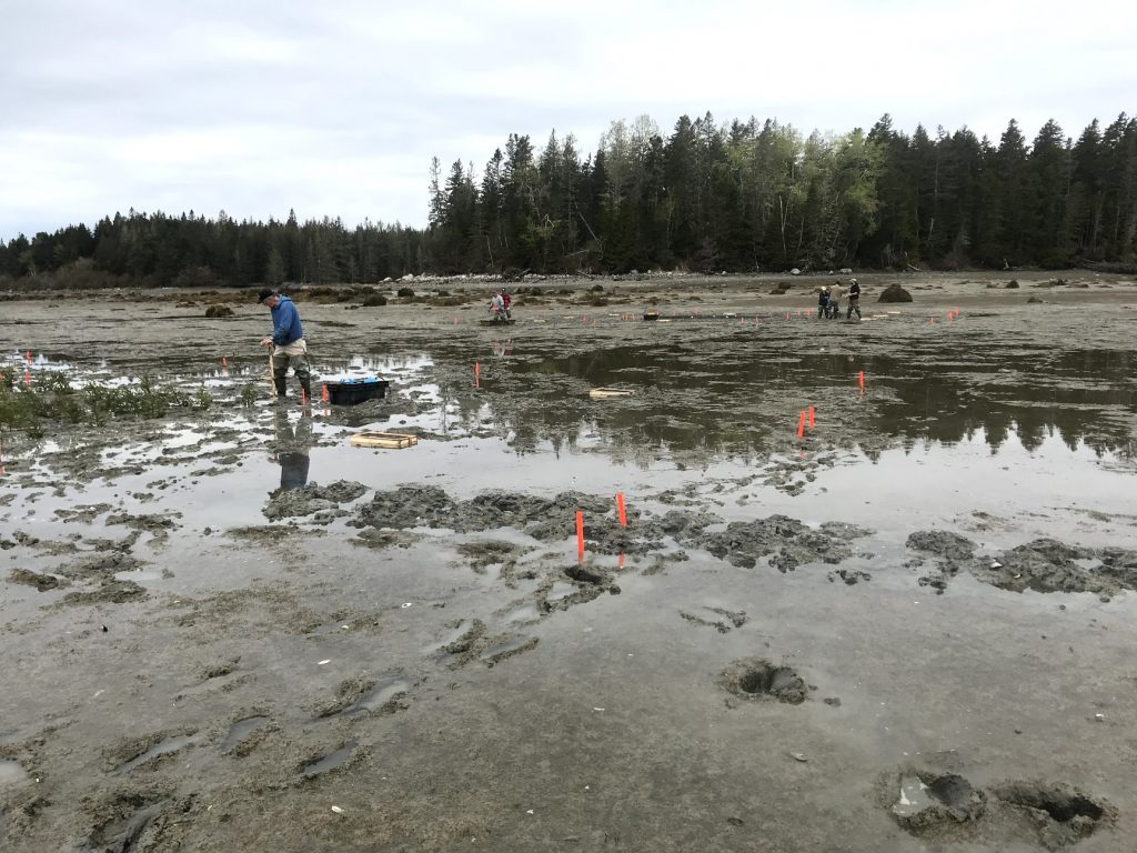 Clammers and members of Gouldsboro's municipal government help deploy spruce bows on some of the town's clam flats in an experiment to determine whether the practice might deter green crab predation. BRIAN BEAL PHOTO