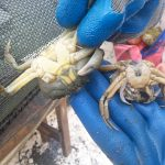 A green crab molted inside one of the traps. This shows the growth from one size to the next (June 26, 2014).
