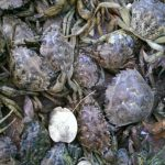 Green crabs caught on July 25.