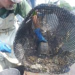 Clammers trapping green crabs in August 2014.