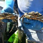 Large green crabs found near the Yacht Club site.