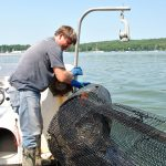 Trapping green crabs on Aug. 11, 2014.